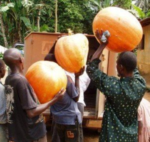 The biggest pumpkins in AYM Sierra Leone vegetable garden